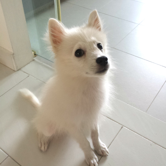 Latte The Japanese Spitz